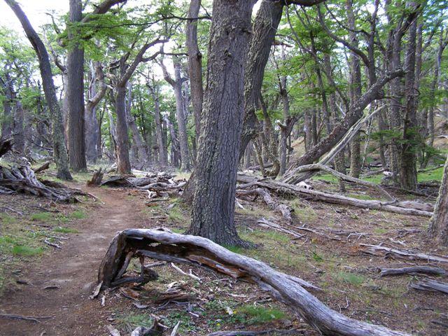 omgevallen bomen - Patagonie