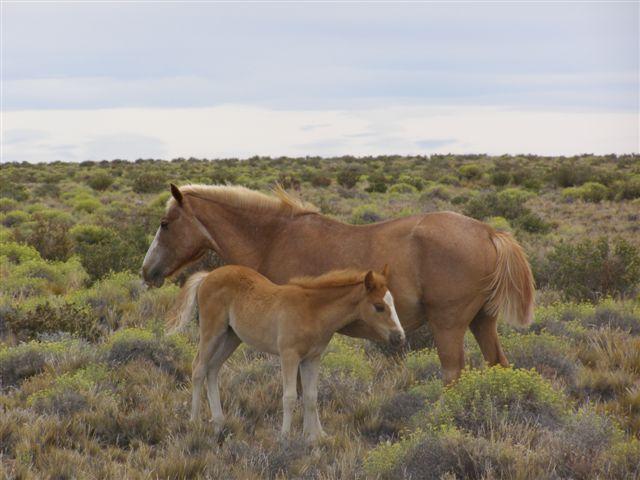 paarden in Patagonie