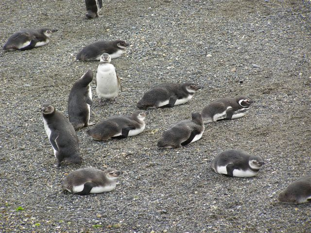 pinguins - Tierra del Fuego - boattrip