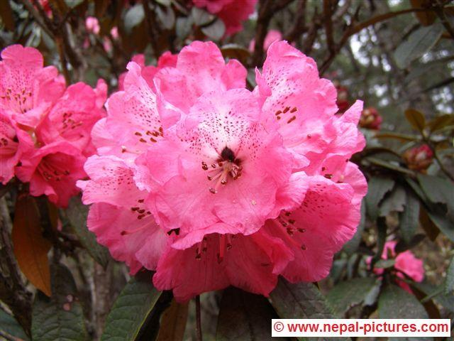 Rhododendron bloemen - Everest regio