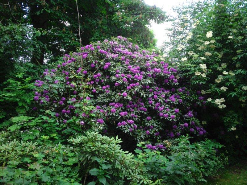 Rhododendron ponticum Vondelpark